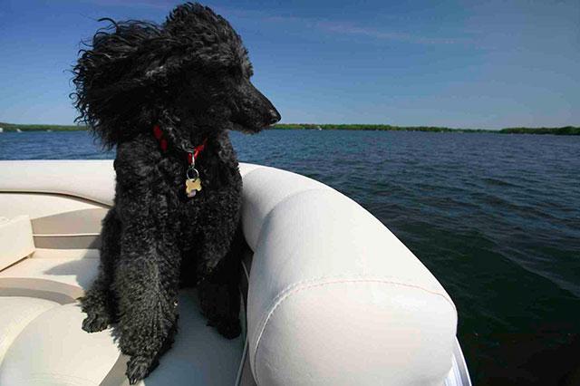 Caniche Estándar negro a bordo de barco
